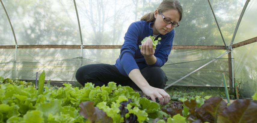 a student works in a greenhouse gathering lettuce